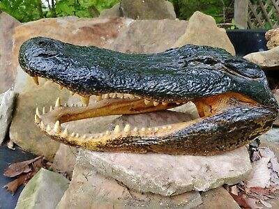 "HUGE Taxidermy 16"" Alligator Head Reptile Crocodile Man Cave Decoration Real"