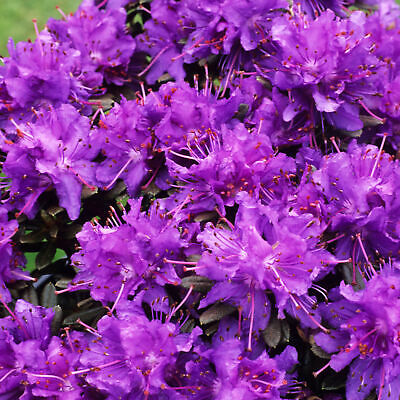 Rhododendron Azurika Dwarf Upright Bushy Evergreen Purple Flowering Garden Shrub