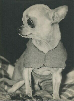 Sweet Little  CHIHUAHUA DOG  Vintage 60 year-old Full Page Photo Print