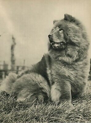 Beautiful CHOW CHOW DOG  Vintage 60 year-old Full Page Photo Print