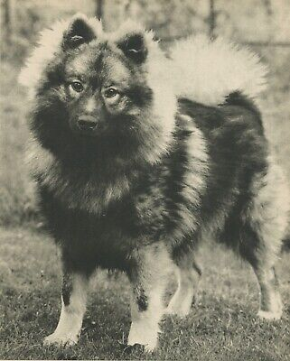 KEESHOND  DOG Vintage 60 year-old Full Page Photo Print