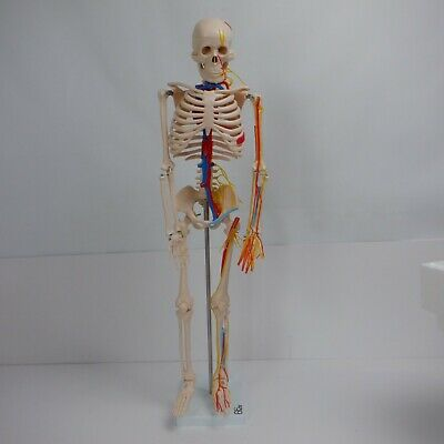 Skeleton With Nerves/Blood Vessel - 85Cm *Ex Display*
