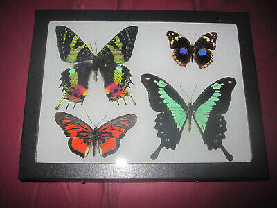 """4 real mounted butterflies framed 6x8"""" riker  mount collection #68-15"""