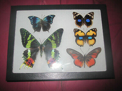 """5 real mounted butterflies framed 6x8"""" riker  mount collection #68-18"""