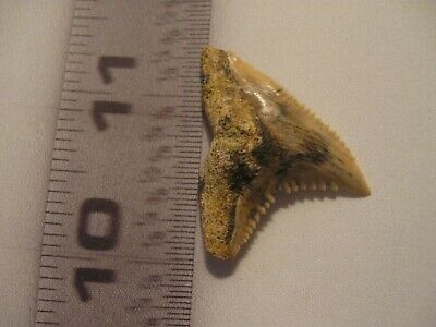 Pristine-RARE-RARE-Hemipristis Shark Tooth form ORANGE COUNTY Sothern CALIFORNIA