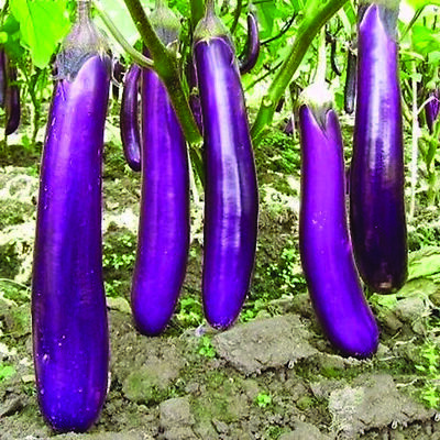 all non-gmo heirloom vegetable seeds! 150 LONG PURPLE EGGPLANT 2020