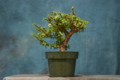 Great For Beginners Dwarf Jade Pre Bonsai Tree Hardy Easy To Grow Care 63 00 Picclick