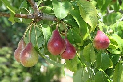 Pyrus Communis - Conference Pear  25 Viable Seeds
