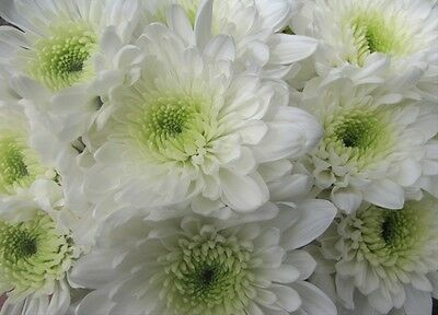 10 Bunches (50 Stems) Fresh Flower White Double Funeral Massing Chrysanthemums