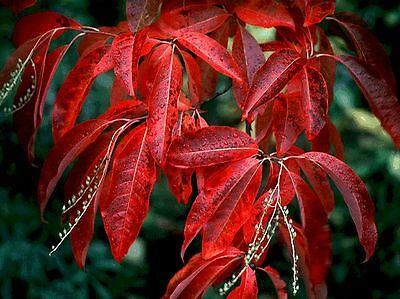 Lily of the Valley Tree, Oxydendrum arboreum, Seeds (Fall Color, Fragrant)