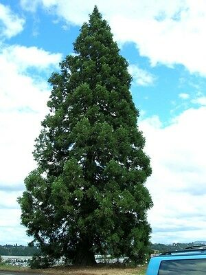 Giant Sequoia, Sequoiadendron giganteum, Tree Seeds (Fast, Evergreen, Bonsai)