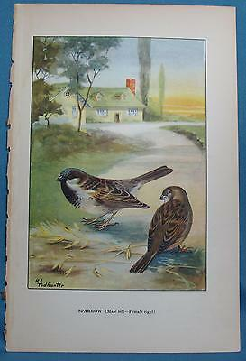 Vintage Sparrow Goldfinch Print from Birds The Nature Library R E Todhunter 1926