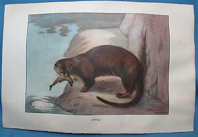 Vintage Otter Coyote Color Print from Animals The Nature Library McGinn 1926