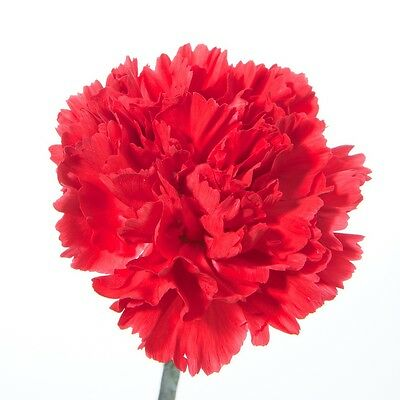 20 Stems Of Fresh Red Standard Carnations - Delivered By 1St Class Post
