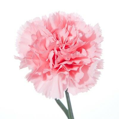20 Stems Of Fresh Pink Standard Carnations - Delivered By 1St Class Post