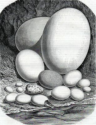 Antique print gravure  different size eggs egg,animals animal compared 1851