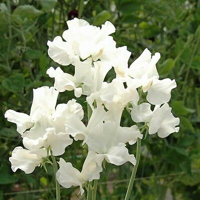 Flower Sweet Pea Royal Family White 70 Flower Seeds