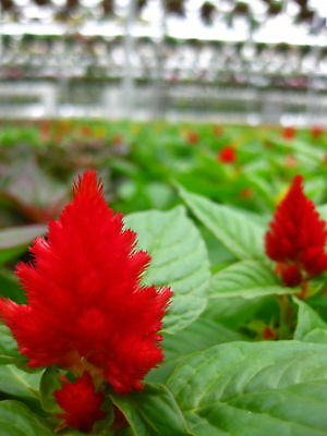 100 RED FOREST FIRE COCKSCOMB CELOSIA Plumosa Seeds