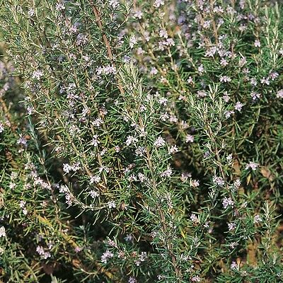 Herb Seeds - Rosemary - 200 Seeds
