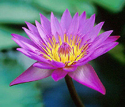10 PURPLE LOTUS Water Lily Pad Nymphaea Sp Pond Flower Seeds *Comb S/H S/H