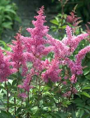100 PINK MIX ASTILBE Chinensis Shade Flower Seeds +Gift