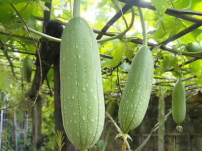 Flower Gourd Luffa Sponge 12 Seeds - Great Fun & Unusual