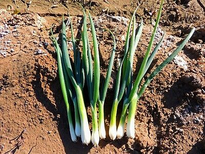 Vegetable  Onion (Spring) Tokyo Long White Bunching  1200 Seeds