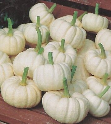Vegetable  Pumpkin Baby Boo Miniature White  10 Seeds