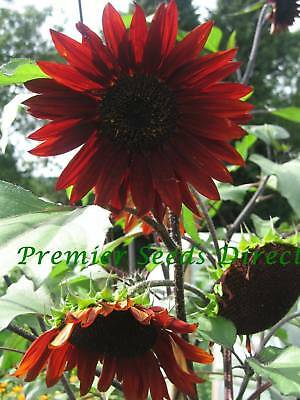 Flower Sunflower Red Sun 170 Finest Seeds