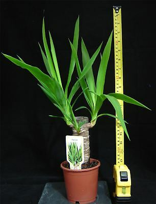 SPINELESS YUCCA ELEPHANTIPE EVERGREEN INDOOR HOUSE PLANT IN POT AIR CLEANER 50cm