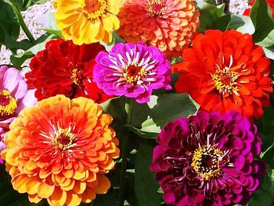 Flower Zinnia California Giant Mix 4 Gram ~ Approx 480 Finest Seeds