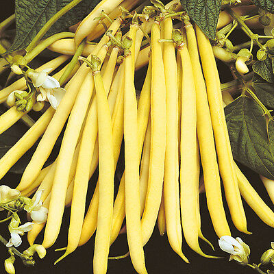 Vegetable  Dwarf Yellow French Bean  Rocquencourt  100 Finest Seeds