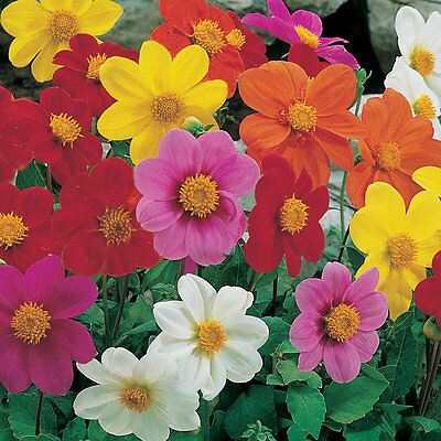 Flower Dahlia Dwarf Patio Mignon Mixed 150 Finest Seeds