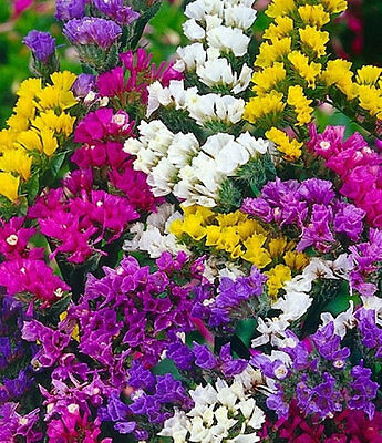 Flower Statice Limonium Sinuatum Pacific Mix 250 Finest Seeds