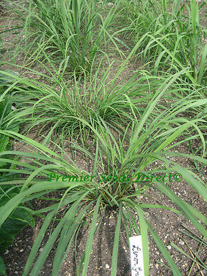 Herb  Lemon Grass East Indian  0.35 Gram ~ 900 Finest Seeds
