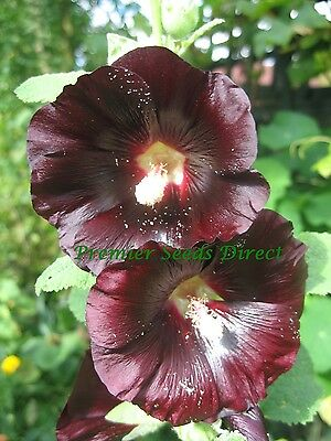 Perennial Flower Hollyhock Jet Black 250 Finest Seeds