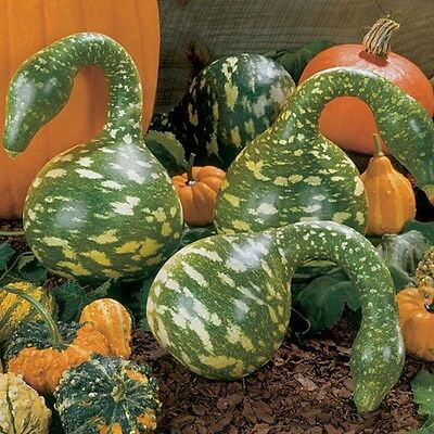 Flower Gourd Speckled Swan 10 Seeds  Unusual