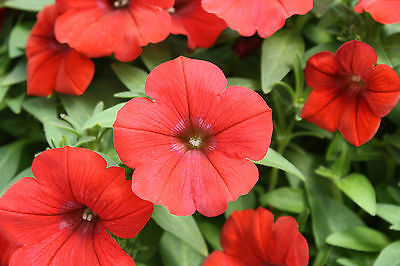 Flower Petunia Nana Compacta Scarlet  Red 1000 Seeds