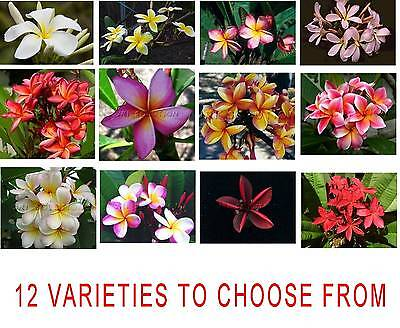 Frangipani Plumeria Rubra- 5 Fresh Viable Seeds- Choice of 12 Pretty Varieties