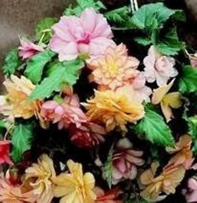 Begonia - Show Angels Mixed F1 - 25 Seeds