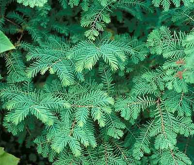 Dawn Redwood, Metasequoia glyptostroboides, Tree Seeds (Fast, Fall Color)
