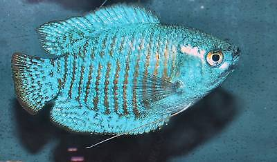 Pair Cobalt Blue Dwarf Gourami ** 4cm ** TROPICAL FISH