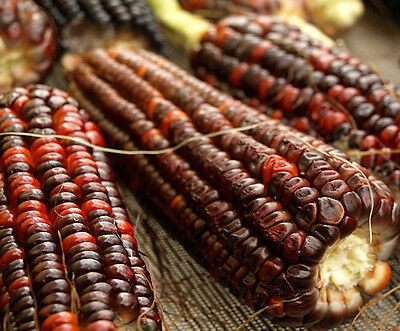 Organic Vegetable  Corn Bloody Butcher  20  Seeds