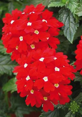 Flower Verbena Hybrida Red With White Eye 200 Finest Seeds