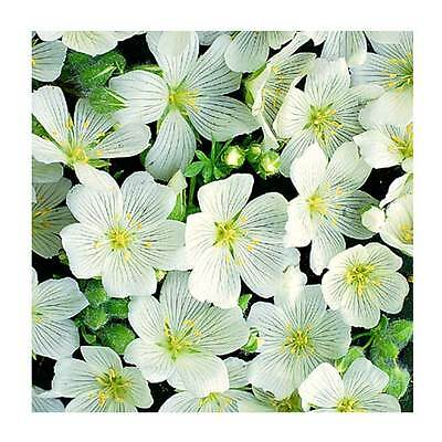 Flower Limnanthes Douglasii Meringue 1Gm - Approx 200 Seeds