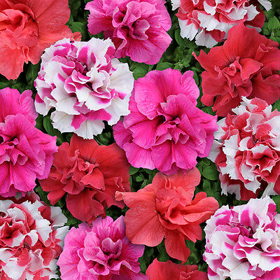 Petunia - Bonanza Mixed - 25 Seeds