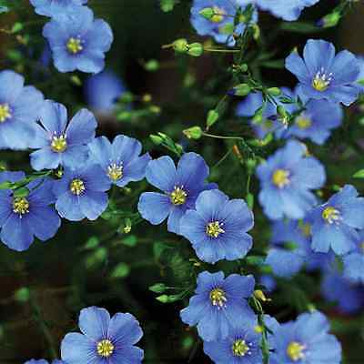 Flower Linum Perenne Blue Flax 3 Gram ~ Approx 1900 Seeds