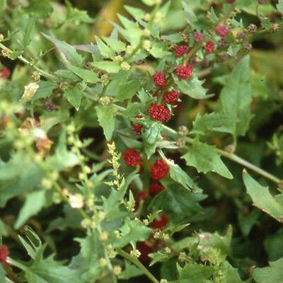 Herb - Strawberry Spinach - 500 Seeds