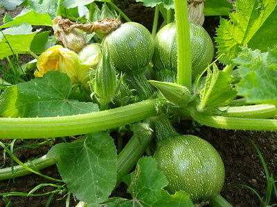 Organic Vegetable  Courgette Ronde De Nice  15 Seeds