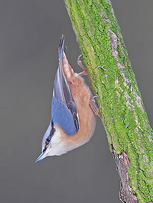 Nuthatch on Branch POSTCARD Bird Steve Greaves Print Card Photo Wildlife Nature